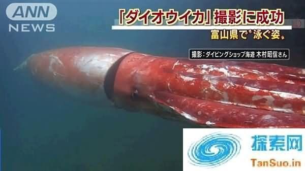 日本富山港湾惊现巨型乌贼: 长约4米