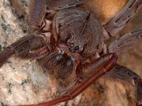 墨西哥惊现新种巨型蜘蛛:四对眼 红色獠牙恐怖