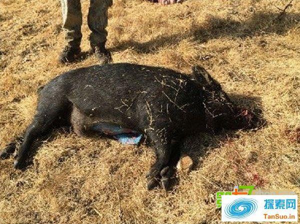 """震惊!猎人打到""""阿凡达""""猪 猪肉呈蓝色"""