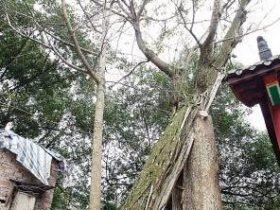 村民几十年做同一怪梦 皆因古树作祟?