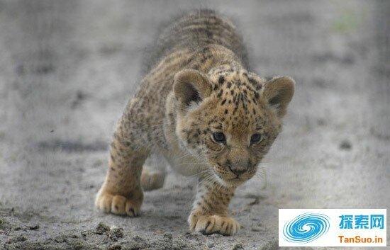 罕见的狮狮虎
